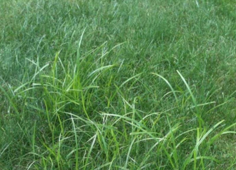 How do I identify Nutgrass?