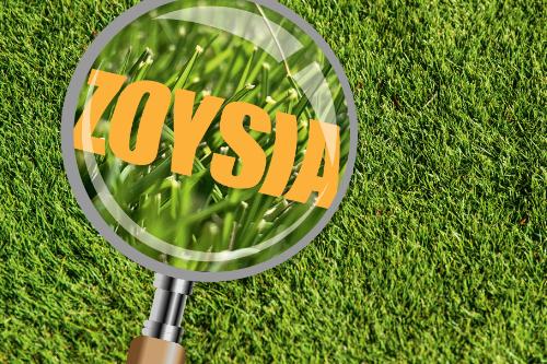 Zoysia Grass in focus
